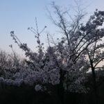 山桜  心静かに